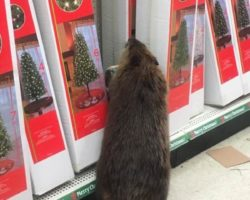 Beaver shops for a Christmas tree in Maryland